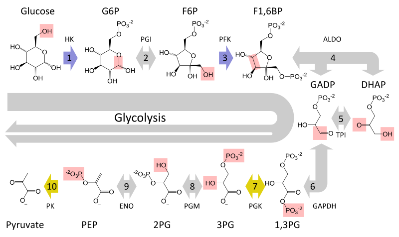 Difference Between Embden Meyerhof Pathway and Entner Doudoroff Pathway