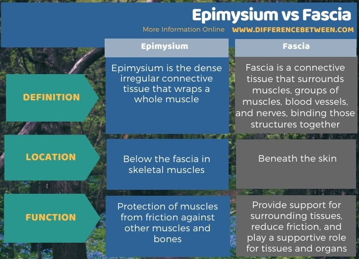 Difference Between Epimysium and Fascia in Tabular Form