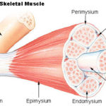 Difference Between Epimysium and Fascia