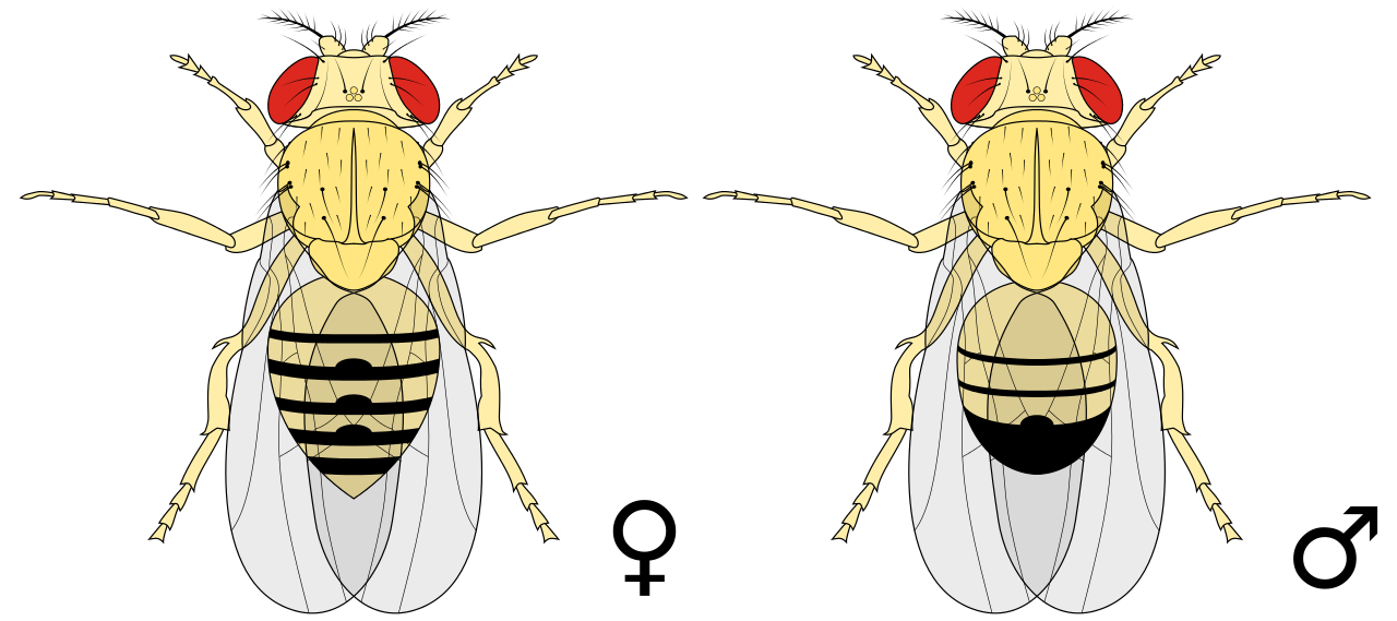 Difference Between Male and Female Drosophila melanogaster