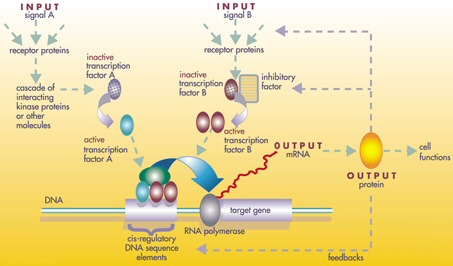 Difference Between Regulatory and Repressor Protein