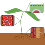 Difference Between Root Pressure and Transpiration Pull