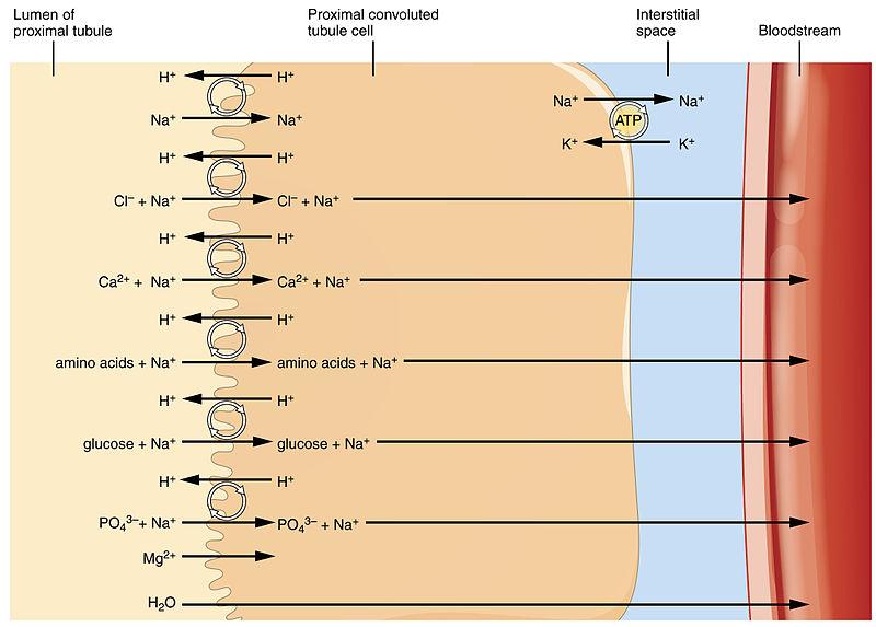 Key Difference - Tubular Reabsorption vs Tubular Secretion