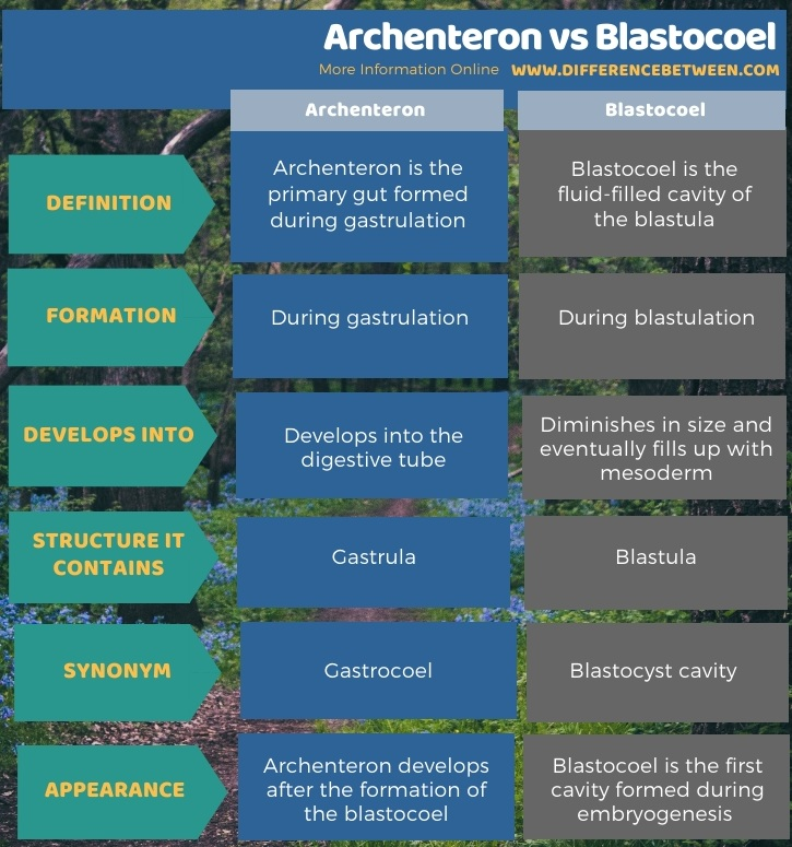 Difference Between Archenteron and Blastocoel in Tabular Form
