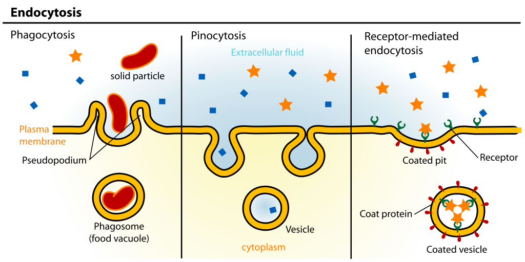 Difference Between Endocytosis and Receptor Mediated Endocytosis