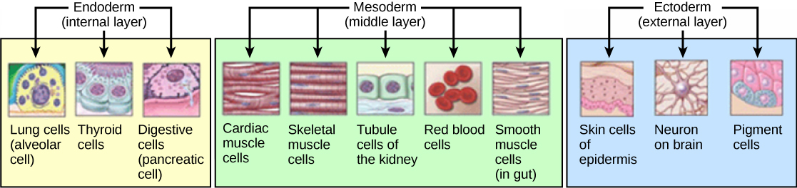 Key Difference - Histogenesis vs Morphogenesis