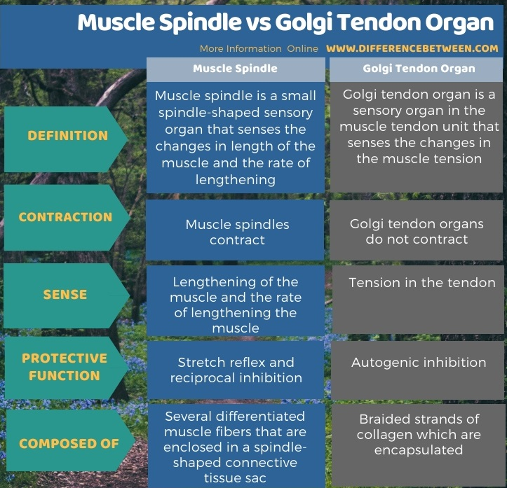 Difference Between Muscle Spindle and Golgi Tendon Organ in Tabular Form