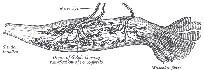 Key Difference - Muscle Spindle vs Golgi Tendon Organ