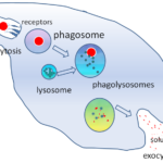 Difference Between Phagolysosome and Phagosome