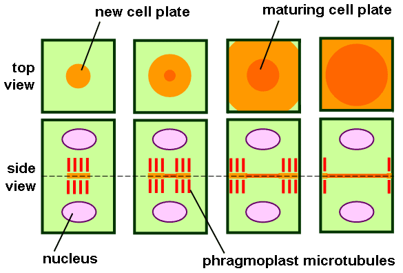 Difference Between Phragmoplast and Cell Plate