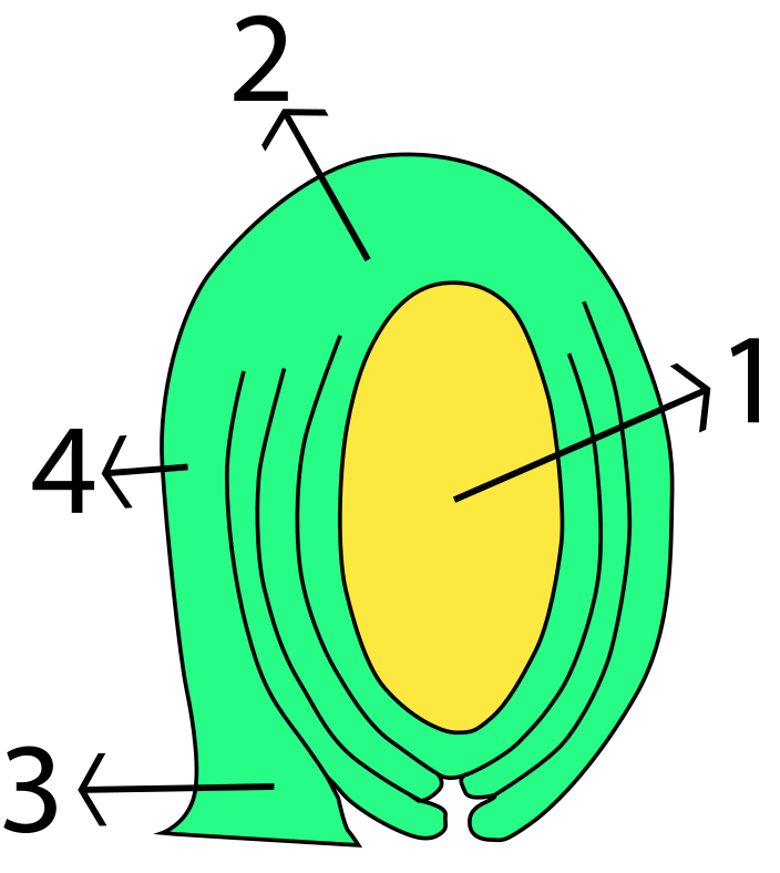 Difference Between Anatropous and Orthotropous Ovule