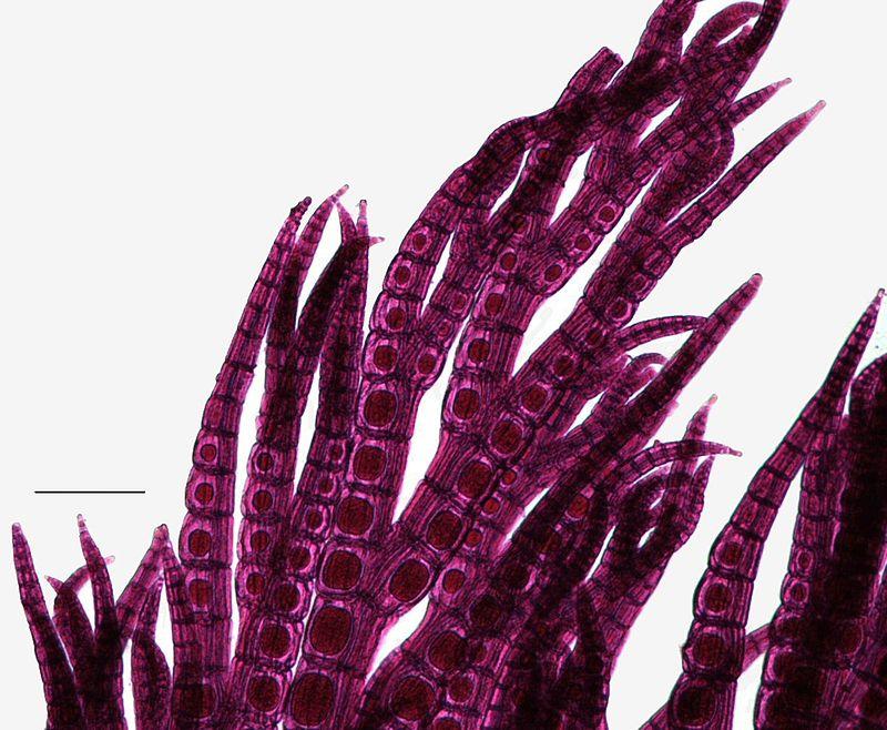 Key Difference - Carposporophyte vs Tetrasporophyte