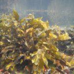 Difference Between Macroalgae and Microalgae
