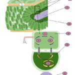 Difference Between Mesophyll and Bundle Sheath Cells
