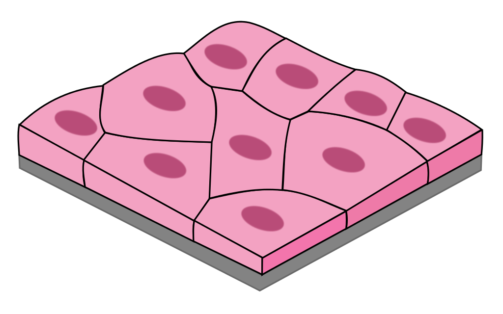 Difference Between Simple Squamous and Simple Cuboidal