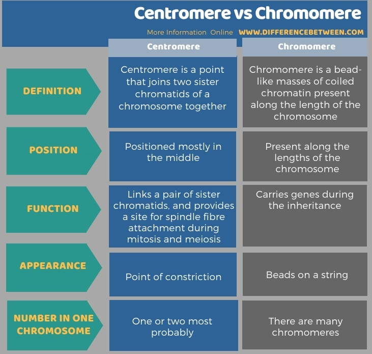 Difference Between Centromere and Chromomere in Tabular Form