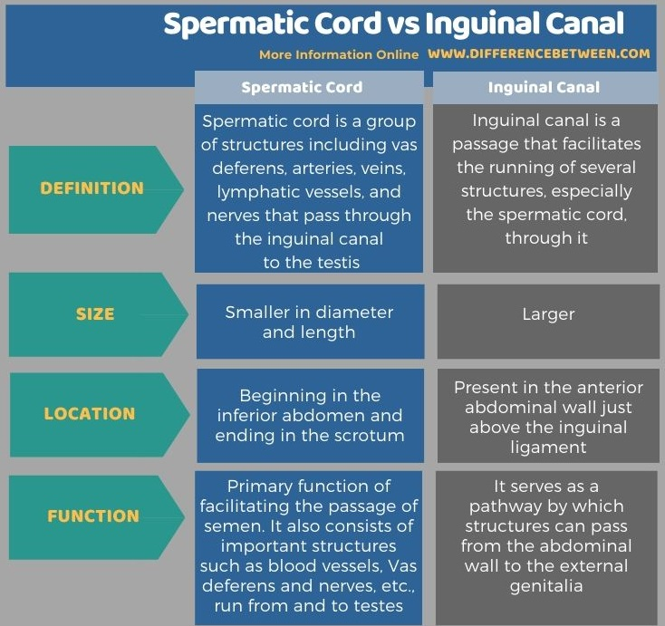 Difference Between Spermatic Cord and Inguinal Canal in Tabular Form