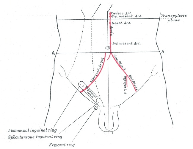 Difference Between Spermatic Cord and Inguinal Canal