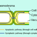 Difference Between Symplast and Vacuolar Pathway