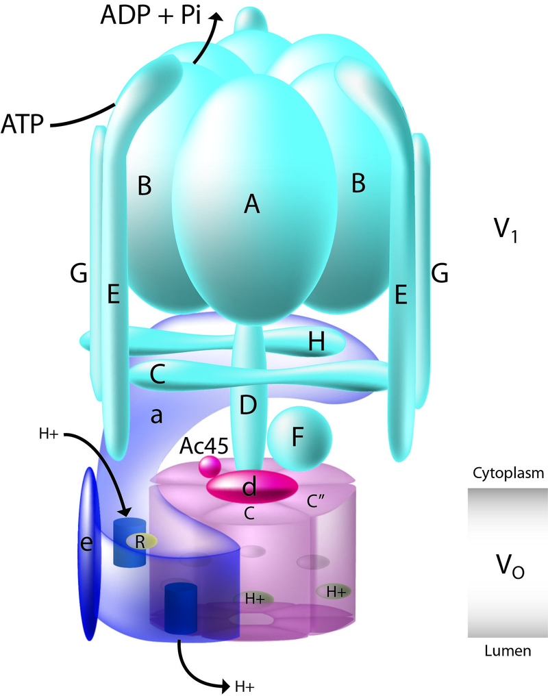 Difference Between V Type and F Type ATPase