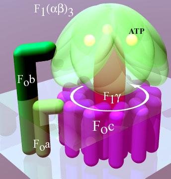 Key Difference - V Type vs F Type ATPase