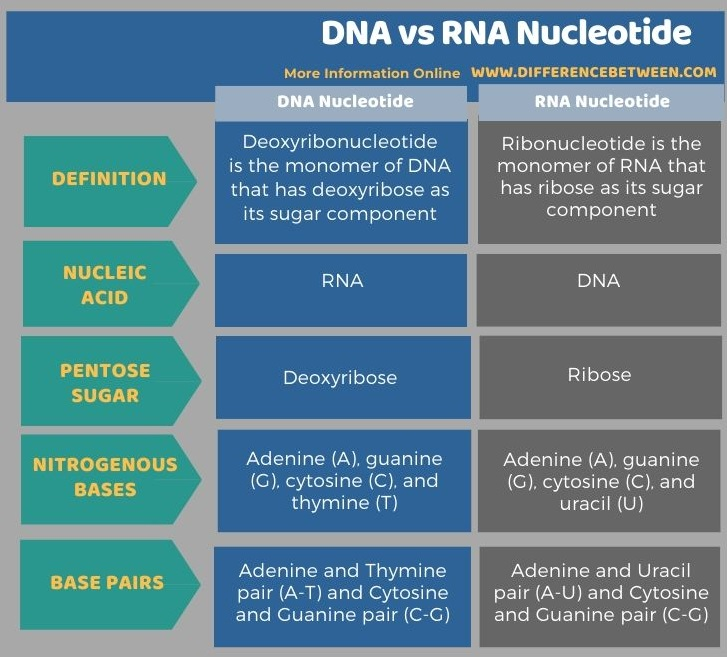 Difference Between DNA and RNA Nucleotide in Tabular Form