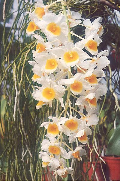 Key Difference - Dendrobium vs Phalaenopsis Orchids