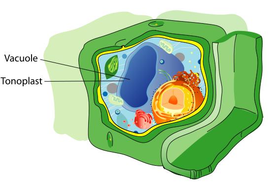 Key Difference - Tonoplast vs Plasma Membrane