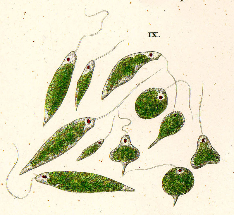 Difference Between Euglenoids and Euglena