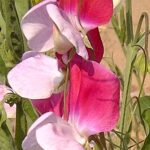 Difference Between Lathyrus odoratus and Pisum sativum