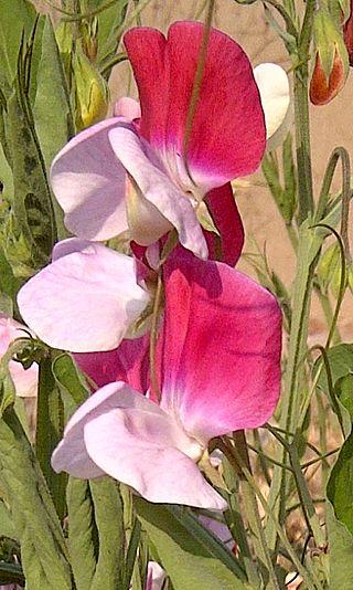 Difference Between Lathyrus odoratus and Pisum sativum
