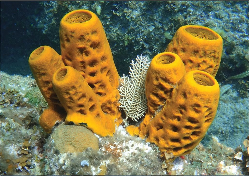 Difference Between Sponge and Hydra