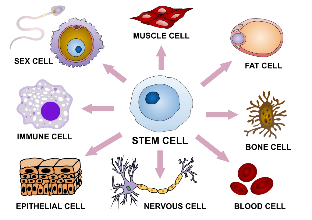 Difference Between Stem Cell Differentiation and Self Renewal