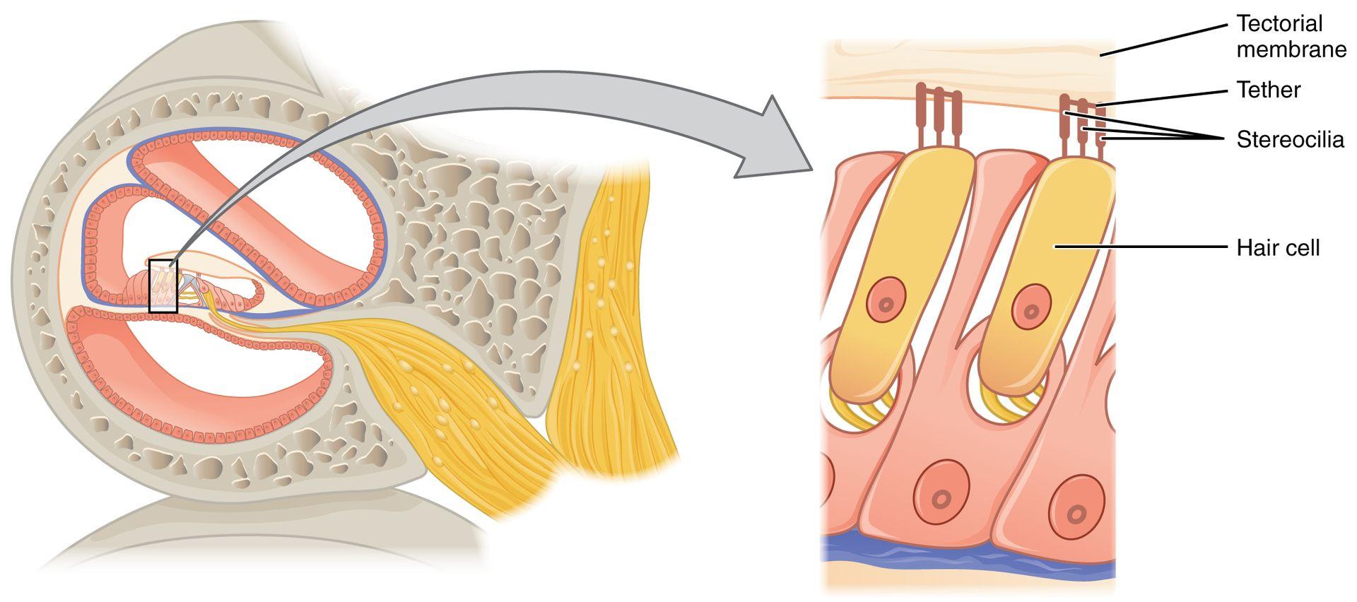 Key Difference - Cilia Stereocilia vs Microvilli