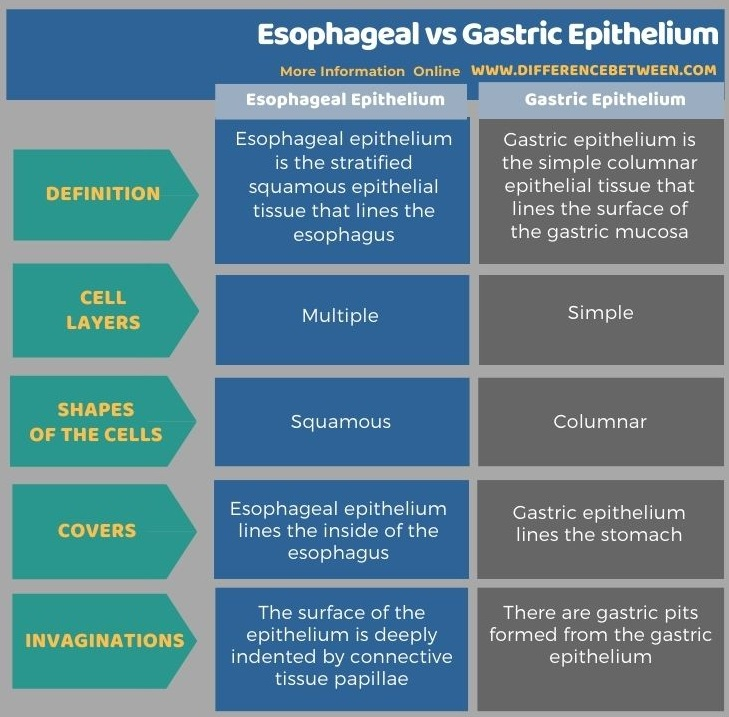Difference Between Esophageal and Gastric Epithelium in Tabular Form