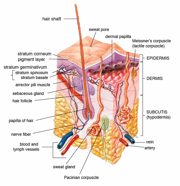 Difference Between Frog and Human Integumentary System