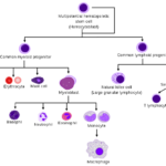 Difference Between Hematopoiesis and Hemocytoblast