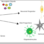 Difference Between Neurogenesis Neuroplasticity and Neuroregeneration