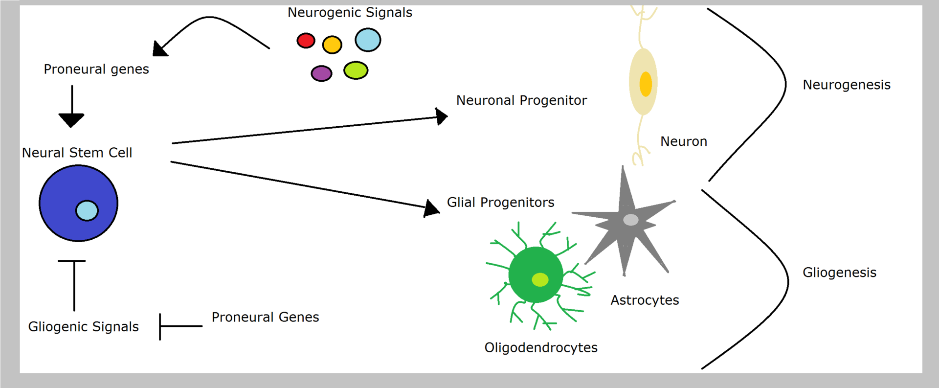 Difference Between Neurogenesis Neuroplasticity and Neuroregeneration