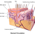 Difference Between Papillary and Reticular Layer