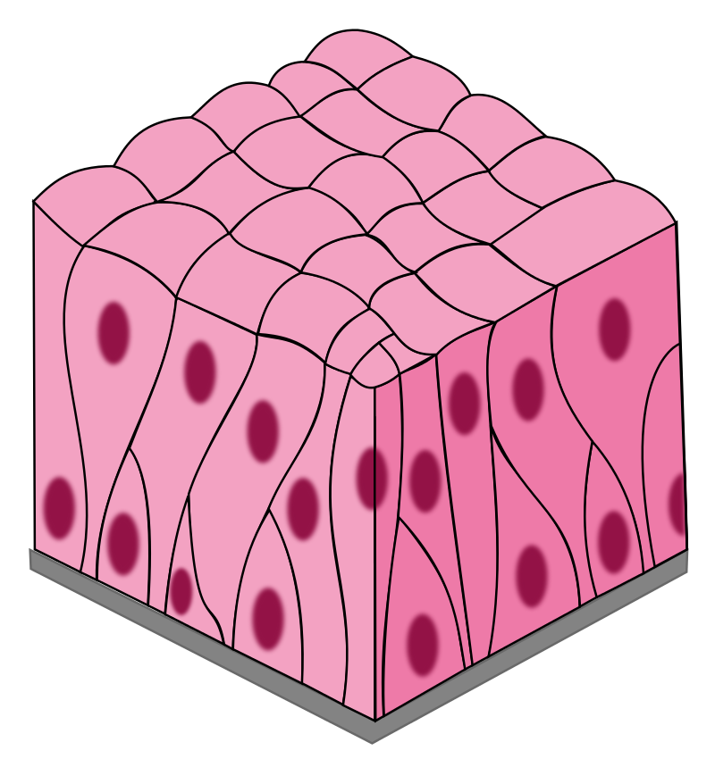 Key Difference - Pseudostratified vs Transitional Epithelium