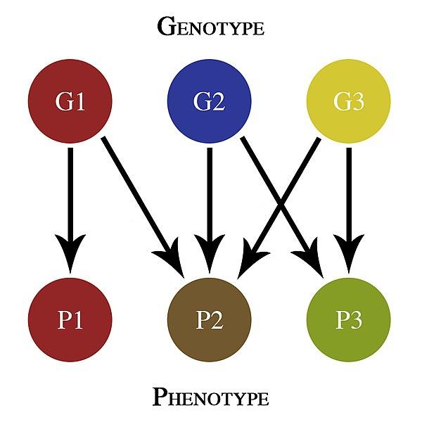 Key Difference - Epistasis vs Pleiotropy