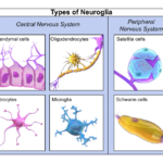 Difference Between Microglia and Macroglia