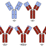Difference Between Chimeric and Humanized Antibody