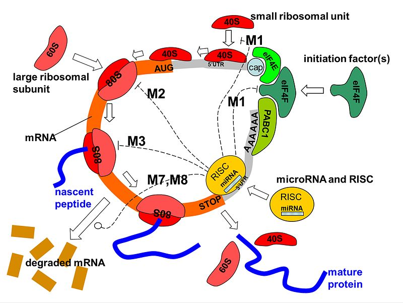 Difference Between Co and Post Translational Modification