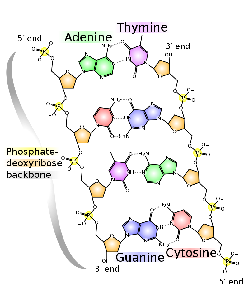 Key Difference - DNA-RNA Hybrids vs dsDNA