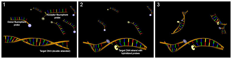 Difference Between DNA and RNA Probes