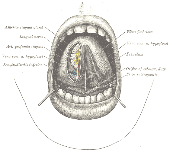 Difference Between Frenulum and Fourchette