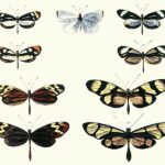 Difference Between Mullerian and Batesian Mimicry