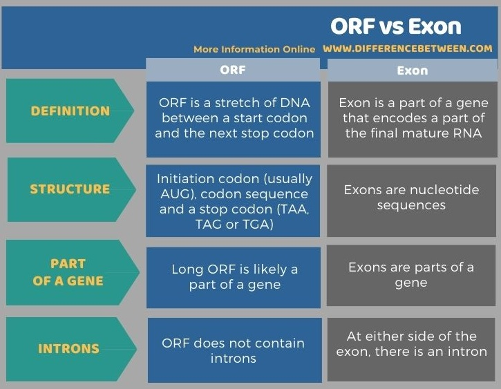 Difference Between ORF and Exon in Tabular Form